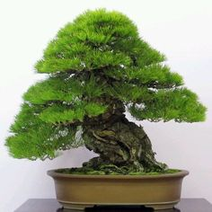 Helpful Guidelines In Growing Indoor Bonsai Trees Japanese Black Pine Pine Bonsai, Bonsai Soil, Bonsai Garden, Bonsai Tree Types, Indoor Bonsai Tree, Bonsai Trees, Bougainvillea Bonsai, Ikebana, Miniature Trees