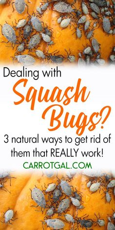 Container Gardening Dealing with squash bugs? Here are 3 natural ways to get rid of them that REALLY work. Garden Bugs, Garden Insects, Garden Pests, Garden Care, Lawn And Garden, Herbs Garden, Garden Types, Fruit Garden, Green Garden