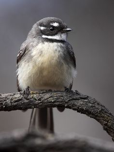 Perfection a grey fantail : David Kleinert Photography