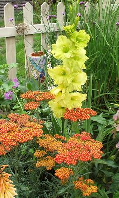 Gladiolus Green Woodpecker and Achillea Walter Funcke by the vintage cottage... love this combination of plants!