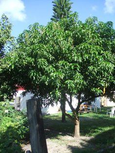 Dwarf Avocado Tree Size Drfm Top
