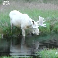 """Rare white moose spotted in Sweden https://t.co/jwPayHmzmC"""