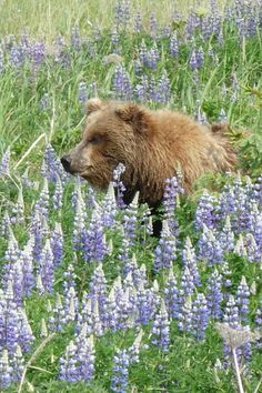 Beautiful Grizzly sitting in Lupine in Alaska