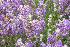 Get these Lavender with Bee cards and share them with a friend #garden #nature #flowers http://www.redbubble.com/people/douglasewelch/works/15346672-lavender-with-bee?p=greeting-card