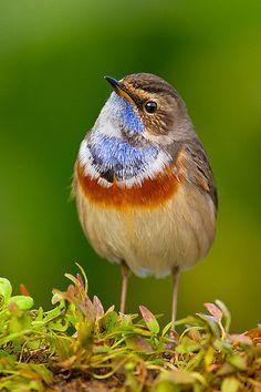 Cotxa blava - Ruiseñor pechiazul - Luscinia svecica - Bluethroat