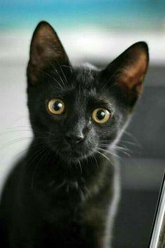 Free Image on Pixabay - Black Cat, Black Kitten, Animal Cute Cats And Kittens, Kittens Cutest, Black Kittens, Pretty Cats, Beautiful Cats, Mundo Animal Videos, Baby Animals, Cute Animals, Cute Black Cats