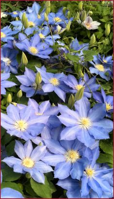Clematis H F Young has an excellent, mid-blue flower color and blooms very fully in late spring with a strong repeat at the end of summer. The clean flowers of this hybrid Clematis can be up to 8 inches across! - just got this today at Walmart of all places, and am REALLY excited about it!