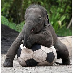 Four-month-old Asian elephant calf Luk Chai plays with a football in his enclosure at Taronga Zoo in Sydney, Australia. The calf was born at the zoo to mother Thong Dee, a former Bangkok street elephant.