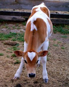 Ranch Farmgirl blog - piebald Jersey heifer calf.