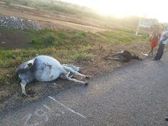 Blog Paulo Benjeri Notícias: Animais na pista, perigo a vista! Mais um acidente...