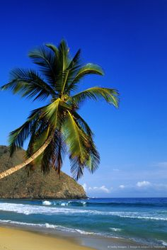 Venezuela, Aragua State, Henri Pittier National park, Choroni, beach and coconut trees.