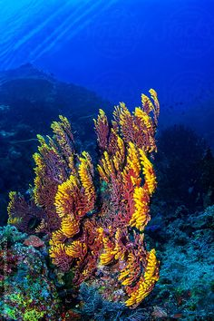 Bright red and yellow Fan coral on the reef underwater in Malaysia by soren egeberg