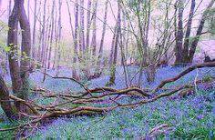 English Bluebells in Spring