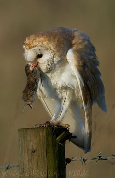Barn Owl with Prey by Tony House on 500px