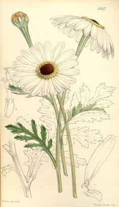 v.84=ser.3:v.14 (1858) [no.5025-5090] - Curtis's botanical magazine. - Biodiversity Heritage Library