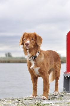 Novia Scotia Duck Tolling Retriever.