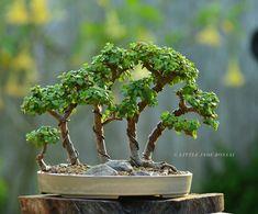 jade bonsai forest