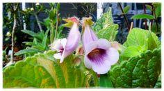 Gesneriad sinningia hybrid