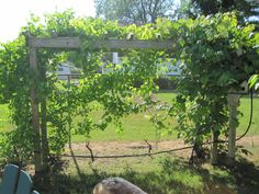 My grape arbor