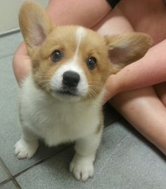 Corgi puppies are some of the cutest puppies around. They are adored ... .