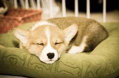 9 week old Corgi puppy named Tucker Flash bounced off of ceiling and/or wall Corgi Funny, Corgi Dog, Tired Animals, Cute Animals, Corgi Pictures, Animal Pictures, Corgi Sleeping, Short Dog, Puppy Names