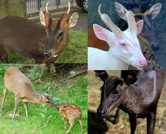 Muntjac deer in red, albino and black (melanistic). The bucks have tusks and horns, very unique.