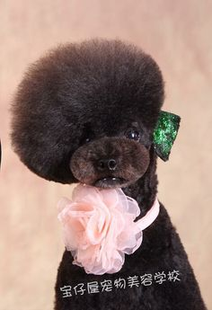 Asian Groomed Poodle