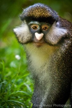 guenon-- this monkey has a heart shaped nose! The Animals, Nature Animals, Baby Animals, Funny Animals, Primates, Mammals, Vida Animal, Especie Animal, Mundo Animal