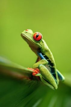 Red Eyed Tree Frog | Costa Rica Photo by Petr Bambousek — National Geographic Your Shot
