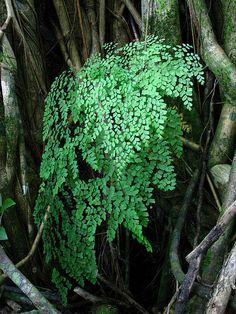 Ferns Garden, Shade Garden, Perfect Plants, Cool Plants, Exotic Flowers, Wild Flowers, Asparagus Plant, Maidenhair Fern, Woodland Plants