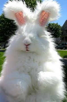 Angora Rabbit! Want one soooooo much! People make yarn from angora rabbits fur also. So awesome. they are so cute