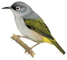 Mauritius White-eye (Zosterops chloronothos)