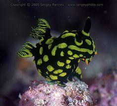 Nembrotha kubaryana Kapalai - Celebes Sea - East Borneo (Malaysia)