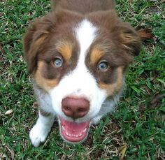 Pippa the Australian Shepherd