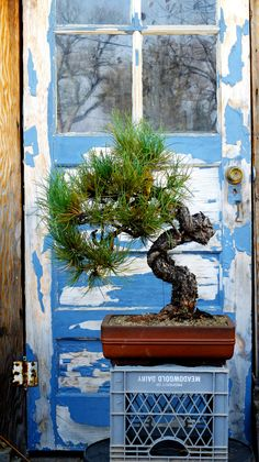 Backcountry Bonsai | Art and Adventure – Collecting Rocky Mountain Yamadori