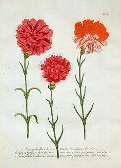Johann Weinmann    Carnation    1737-45