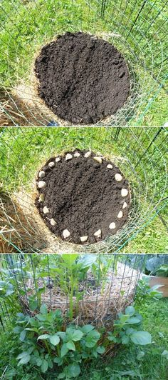 Alternative Gardening: How to make a potato barrel using chicken wire.
