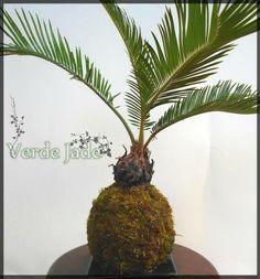 Kokedama Cyca  Consultas: eve@verdejade.com  www.VerdeJade.com