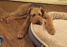 Airedale Sleep Position