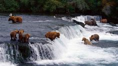 Anchorage Alaska, bears begin Salmon hunt. They were everywhere. I was so scared I didn't even get out of the car.