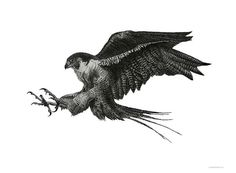Peregrine falcon drawing