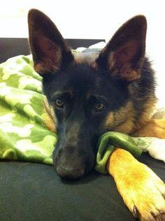 Our 10 month old German Shepard, Jessie <3