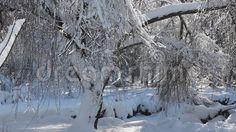 Video about Winter scene in park - snow covered trees in a sunny frosty day. Video of frost, landscape, romania - 65410913 Snow Covered Trees, Winter Wonder, Winter Scenes, Stock Photos, Landscape, Park, Nature, Outdoor, Outdoors