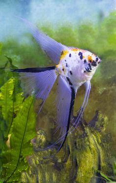 Koi Marble Veil Angelfish Tropical Freshwater Fish, Tropical Fish, Planted Aquarium, Aquarium Fish, Angel Fish Tank, Beautiful Fish, Fish Art, Betta, Fresh Water