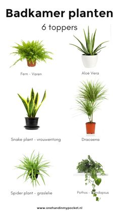 Plants in the bathroom? These are 6 toppers - One Hand in my Pocket - Plants in the bathroom? These are 6 toppers – One Hand in my Pocket - Bathroom Plants, Bathroom Toilets, Bathroom Flowers, Bathrooms, Spider Plants, Snake Plant, Modern Bedroom Design, Bathroom Inspiration, Houseplants