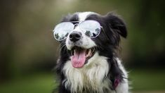 Border collie with sunglasses
