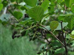 L'ontano è un albero della famiglia delle Betullacee, di origine europea. Questa pianta arriva fino a 10 metri di altezza, con il tronco quasi diritto, la