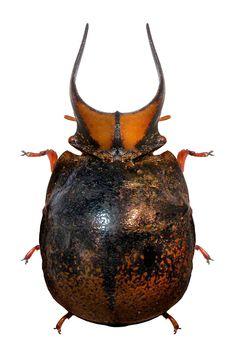 Ceratocoris cephalicus Plataspidae.
