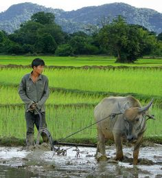 Ploughing the muddy rice fields in Laos by Ben