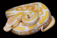 We travel all the way to Minnesota to visit Marc Bailey's Ball Python collection SnakeBytesTV is produced by BHB Reptiles, one of the wo. Pretty Snakes, Cool Snakes, Beautiful Snakes, Colorful Snakes, Cute Reptiles, Reptiles And Amphibians, Pythons For Sale, Types Of Snake, Snake Photos